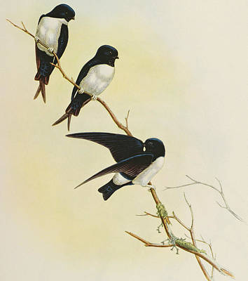 Swallow Painting - Nepal House Martin by John Gould