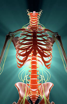 Human Skeleton Digital Art - Nerves by MedicalRF.com