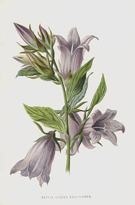 Bell Drawing - Nettle-leaved Bell-flower by Frederick Edward Hulme