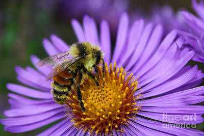New England Aster And Bee Print by Steve Augustin