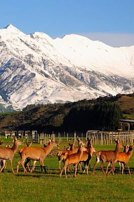 New Zealand Deer 3497 Print by PhotohogDesigns