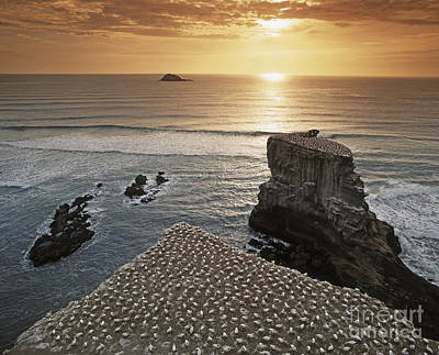 new zealand gannet colony at muriwai beach ,gannet fly from Muri Print by Juergen Held