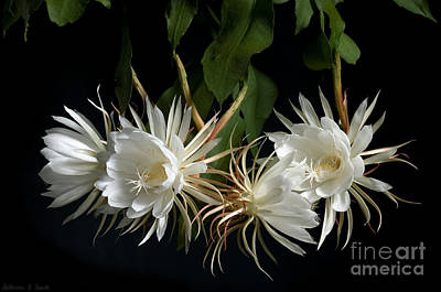 Large Photograph - Night-blooming Cereus 4 by Warren Sarle