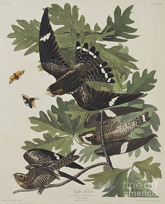 Night Hawk Print by John James Audubon
