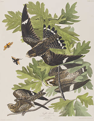 Insects Drawing - Night Hawk by John James Audubon