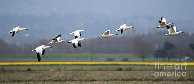 Snow Geese Photograph - Nine Geese A Flying by Mike Dawson
