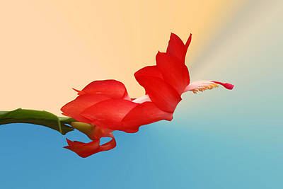 Christmas Cactus Photograph - No Fear Of Flying by Kristin Elmquist