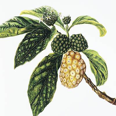 Fruit Tree Art Painting - Noni Fruit by Hawaiian Legacy Archive - Printscapes