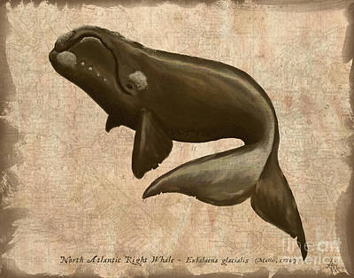 Whaling Drawing - North Atlantic Right Whale by Amber Marine