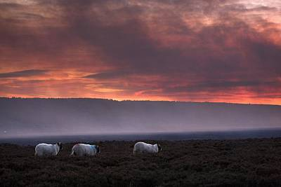 Photograph - North Yorkshire, England Sheep Grazing by John Short