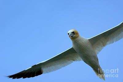 Northern Gannet Flying Through Blue Skies Print by Sami Sarkis