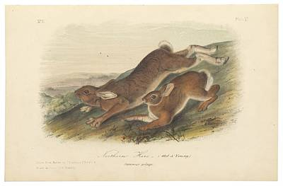 Animals Painting - Northern Hare by John James Audubon