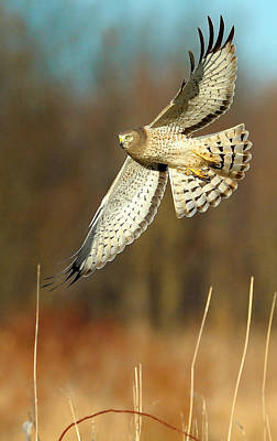 Northern Harrier Photograph - Northern Harrier Banking by William Jobes