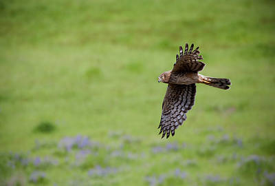 Northern Harrier Fly By Print by Mike  Dawson