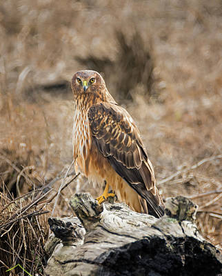Northern Harrier Photograph - Northern Harrier On A Log by Loree Johnson