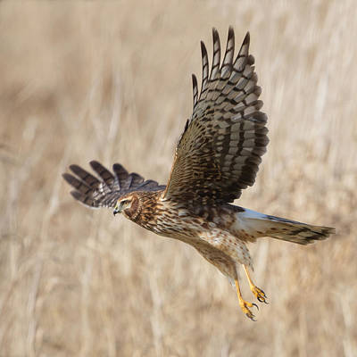 Northern Harrier Photograph - Northern Harrier Square by Angie Vogel