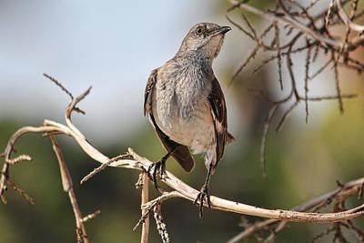 Birds Photograph - Northern Mockingbird 2 by HH Photography of Florida