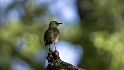 Northern Mockingbird At Quarry Lake Original by Billy Stovall
