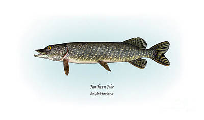 Angling Drawing - Northern Pike by Ralph Martens