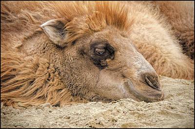 Camel Photograph - Not Humpday Camel by LeeAnn McLaneGoetz McLaneGoetzStudioLLCcom