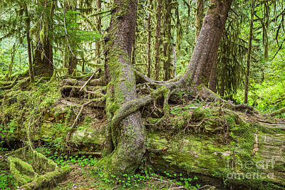 Web Of Life Photograph - Nurse Tree In Olympic National Park by Bryan Mullennix