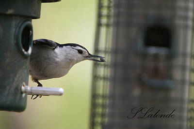 Photograph - Nuthatch by Sarah  Lalonde