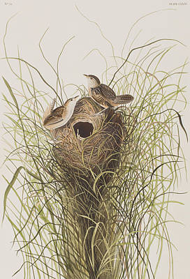 Reeds Drawing - Nuttall's Lesser-marsh Wren  by John James Audubon