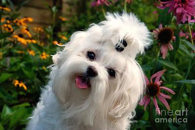 Maltese Dog Photograph - Nuttin' But Love by Lois Bryan