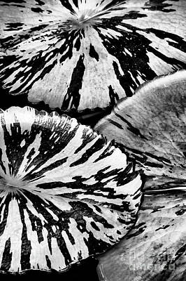 Nymphaea Foxfire Lily Pads Print by Tim Gainey
