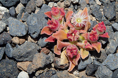 Visual Photograph - Oasis - Tenerife Ice Plant by Robert Schaelike