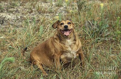 Fat Dog Photograph - Obese Dog by Gerard Lacz