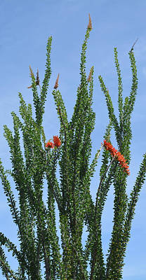 Ocotillo Plant  Print by Aimee L Maher Photography and Art Visit ALMGallerydotcom