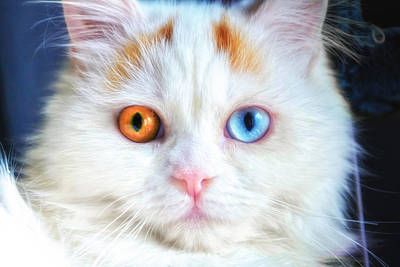 Turkish Van Cat Photograph - Odd-eyed Persian Kitten by Bonnie Phantasm