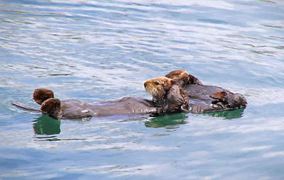 Otter Photograph - Ohh Our Aching Heads - What A Party  by Donna Kennedy
