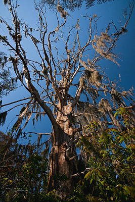 Old Cypress Print by Christopher Holmes