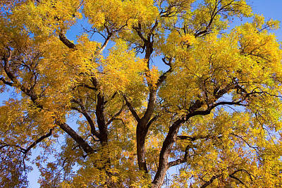 The Lightning Man Photograph - Old Giant  Autumn Cottonwood by James BO  Insogna