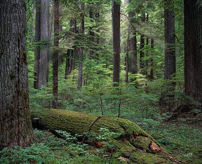 Old Growth Forest Print by Leland D Howard