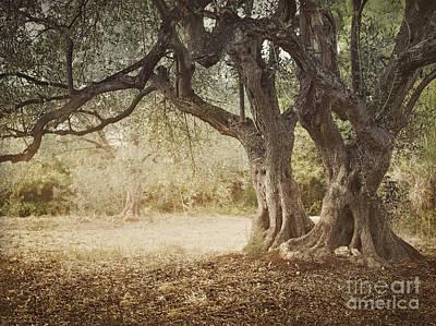 Old Olive Tree Print by Mythja  Photography