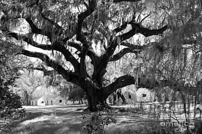 Old Plantation Tree Print by Melody Jones