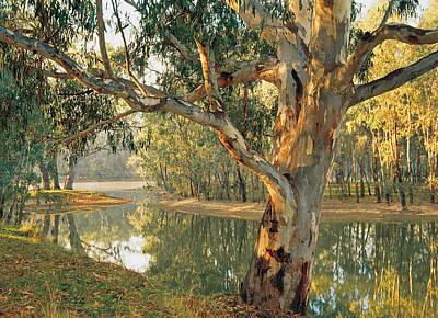 Old River Red Gum (eucalyptus Camaldulensis) By A Murray River Billabong At Corowa, New South Wales, Australia Print by Peter Walton Photography