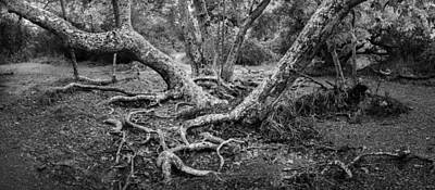 Widescreen Photograph - Old Sycamore Stand by Alexander Kunz