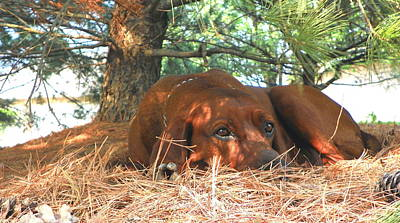 Coonhound Photograph - Ole Red At Naptime by Tammy Miller
