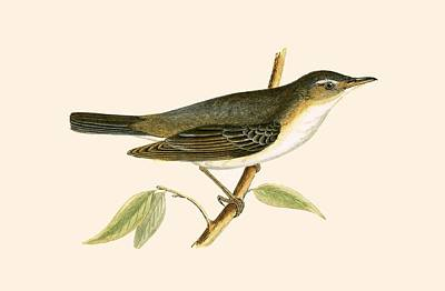 Warbler Drawing - Olive Tree Warbler by English School