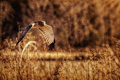 Northern Harrier Photograph - On The Hunt by Annette Hugen
