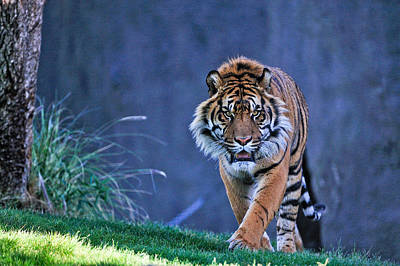The Tiger Hunt Photograph - On The Hunt by Tom Dowd