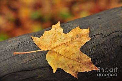 Autumn Photograph - One Autumn Maple Leaf by Terri Gostola