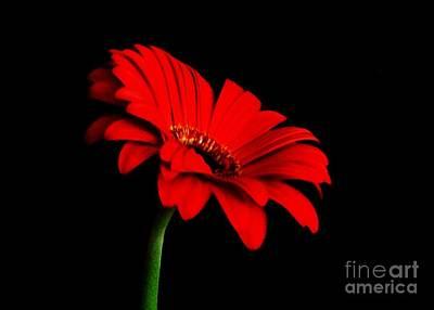 One Red Daisy Print by Marsha Heiken