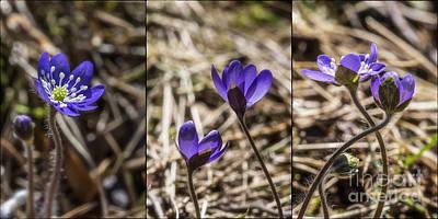 Hepatica Photograph - One Two Three by Veikko Suikkanen