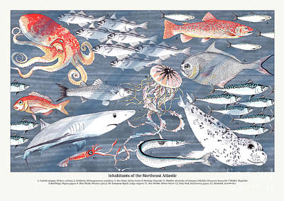Trout Drawing - Open Sea Annotated by Jacqueline Colley
