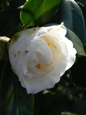 Opening Camellia Original by Warren Thompson